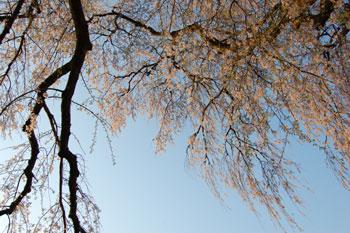 090410sakura2.jpg
