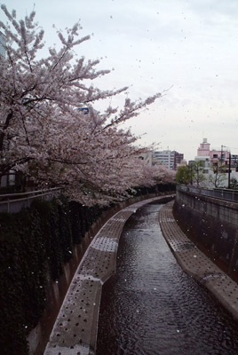 120413sakuraame.jpg